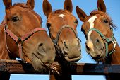 stock photo of bridle  - Closeup of three  heads of a horses - JPG