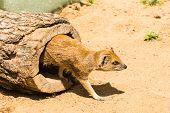 Funny Small Yellow Mongoose Stands On Sandy Clay Soil. Concept Of Animals At The Zoo. Life In Captiv poster