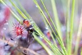 This Small Fragile Plant Is Called The Drosera Capensis, Is Only A Few Centimeters In Size, Is A Car poster