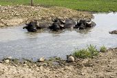 pic of wallow  - View of buffaloes in a muddy water - JPG