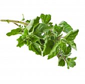 picture of origanum majorana  - fresh leaves oregano  - JPG
