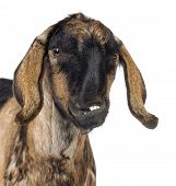 pic of anglo-nubian goat  - Close - JPG