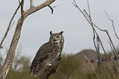 stock photo of ocotillo  - Great horned owl perched on broken tree trunk with ocotillo on right and dead tree branches on left - JPG