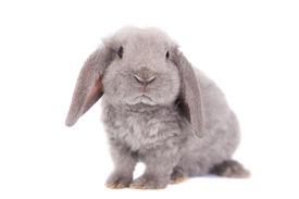 image of dwarf rabbit  - Grey lop - JPG
