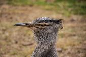 Kori Bustard Close Up Portrait