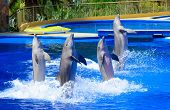 stock photo of bottlenose dolphin  - Four dolphins during dolphin show in aquarium - JPG