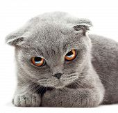 picture of pussy  - British Shorthair cat on white background - JPG
