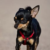 picture of miniature pinscher  - Small black Miniature Pinscher in portrait - JPG