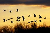 stock photo of fowl  - Snow Geese flying over the treetops at sunset - JPG