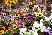 Assortment Of Pansies. Flowers Background Pansy.