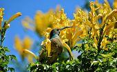 image of honeysuckle  - Close up of sunbird on yellow Cape Honeysuckle bush - JPG