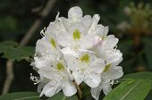 Great Laurel Rhododendron (rhododendron Maximum) Plant