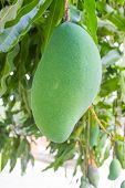 stock photo of mango  - Mango on mango tree beautiful mango on tree