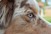 Australian Shepherd Blue Eye