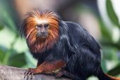 pic of lions-head  - Beautiful rare golden-headed lion tamarin (Leontopithecus chrysomelas)