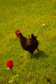 picture of fighting-rooster  - Red rooster running in a country farm - JPG