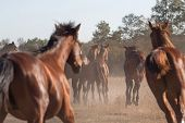 stock photo of horses ass  - Herd of young Trakehner horses running outdoors