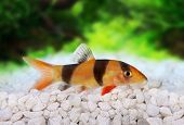stock photo of catfish  - Clown loach tiger botia catfish Botia macracanthus in planted aquarium - JPG