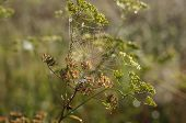 stock photo of cobweb  - Lovchen cobweb morning on the branches of a plant - JPG