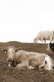 picture of dairy cattle  - cattle feeding on the green grass of county Kerry Ireland on the wild atlantic way in sepia - JPG