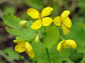 stock photo of greater  - Greater Celandine - Chelidonium majus