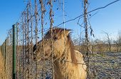 image of horses eating  - Horse eating form a fence in winter - JPG