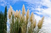 stock photo of pampas grass  - Pampass grass and pine trees against blue sky - JPG