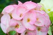 picture of plant species  - pink Euphorbia milii or crown of thorns is a species of flowering plant - JPG