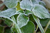 foto of nettle  - Beautiful frost on the nettle leaves. Macro shot.