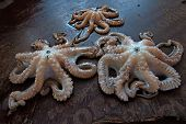 stock photo of octopus  - Octopuses is lying on fish market of Stone Town Zanzibar - JPG
