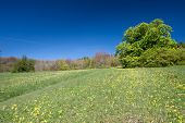 stock photo of cowslip  - Horse Chestnut also known as a Conker tree in a field of Cowslips - JPG