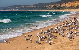 picture of flock seagulls  - Large flock of seagulls on the beach all looking in the same direction. Atlantic Beach Portugal.
