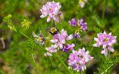 Crown Vetch. Securigera Varia. (Previous Name Coronilla Varia) Pink Blooms with Bumblebee. poster