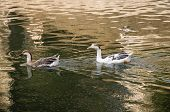 image of webbed feet white  - Two white ducks swimming in golden sparkling water. ** Note: Soft Focus at 100%, best at smaller sizes - JPG