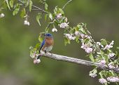 pic of bluebird  - Male Eastern bluebird perched among pale pink flowers - JPG