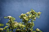 stock photo of ashes  - Sorbus aucuparia mountain ash tree with white blooms - JPG