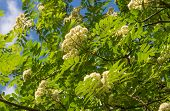pic of ashes  - Sorbus aucuparia mountain ash tree with white blooms - JPG
