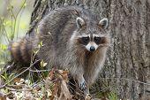 stock photo of bend  - Raccoon  - JPG