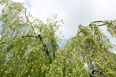 stock photo of weeping  - Young leaves of a weeping beech in Leidschendam Netherlands - JPG