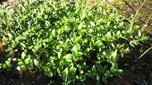 stock photo of marshes  - Sunny surface on the foliage of some aquatic plant  - JPG