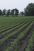 foto of corn  - Field of Corn with young corn plants - JPG