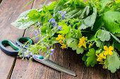 image of plantain  - Fresh collected medicinal herbs for herbal medicine  - JPG