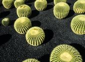 picture of cactus  - Lanzarote Canary Islands - JPG