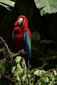 pic of parrots  - The scarlet macaw  - JPG