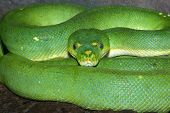 picture of green tree python  - green tree python coiled looking straight at me - JPG