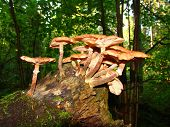 stock photo of shroom  - honey fungus mushrooms in a dark forest on a trunk - JPG