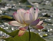 stock photo of hydrophytes  - Wild pink lotus  - JPG