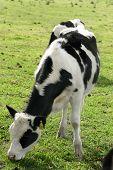 Grazing Calf poster
