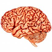 picture of temporal lobe  - Illustration body part vector - JPG