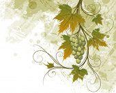 picture of grape-vine  - Grapevine - JPG